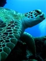 Turtles · Wildlife · Lifeline for Moreton Bay Project   Sustainability of Loggerhead Turtles in Moreton Bay   Scoop.it