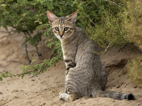 The genes that turned wildcats into kitty cats - Science  AAAS | CLOVER ENTERPRISES ''THE ENTERTAINMENT OF CHOICE'' | Scoop.it