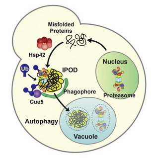 Autophagic Turnover of Inactive 26S Proteasomes in Yeast Is Directed by the Ubiquitin Receptor Cue5 and the Hsp42 Chaperone | Plant-microbe interaction | Scoop.it