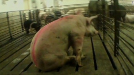 Undercover animal abuse videos could soon be outlawed   Animal rights   Scoop.it