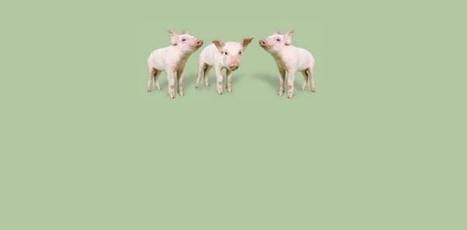 Centro de Información de Actividades Porcinas | Producción de porcinos | Scoop.it