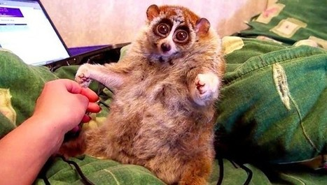 The Truth Behind Those Cute Loris Videos Isn't As Happy As You Think | Nature Animals humankind | Scoop.it