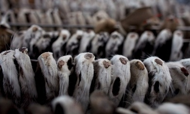 Mink prices sink after slump in Chinese demand | Micro - markets and market failure | Scoop.it