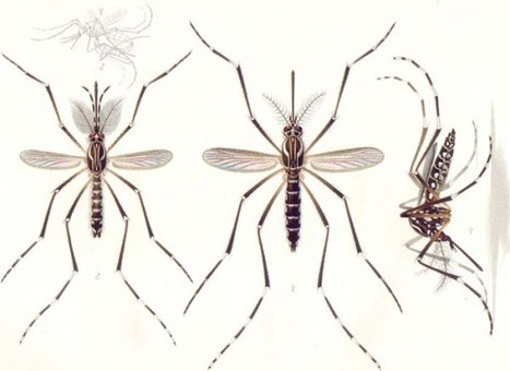 How to tell whether a mosquito is male or female (without getting bitten) - Boing Boing   Biology Teacher   Scoop.it