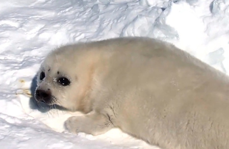 These Adorable Baby Seals Need YOU to Shut Down Canada's Commercial Seal Slaughter (VIDEO) | Sustain Our Earth | Scoop.it