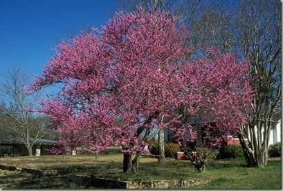 Wordless Wednesday: Redbud Trees In Bloom - Backyard Wisdom | Good Gardening News and Advice | Scoop.it