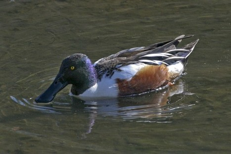 Shoveler among Hutto's wintering waterfowl   Mary Ann's Nature Articles from The Hutto News   Scoop.it