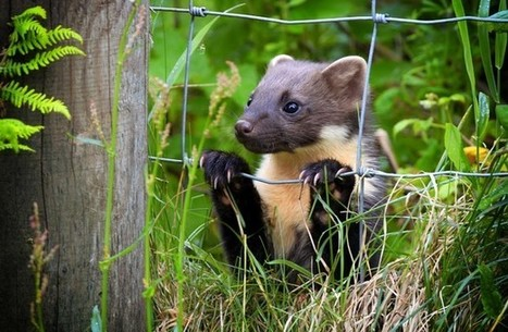 Suggestion pine martens will attack young children 'alarmist and irresponsible' | Oceans and Wildlife | Scoop.it