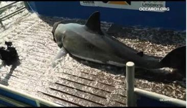 Researchers track a massive great white shark heading toward Texas | Shark conservation | Scoop.it