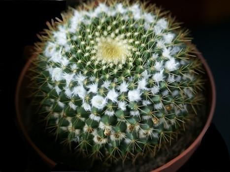 Photo de Cactus : Tête de vieillard - Mammillaria marksiana - Flore du Mexique   Cactus and Succulents : Photos de cactus et de plantes grasses gratuites et libres de droits   Scoop.it