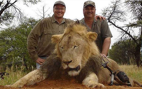 Cecil the Lion ,Walter Palmer hunting Pictures | picturescollections | Scoop.it