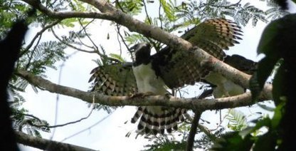 The Harpy Eagle Returns | Belize in Social Media | Scoop.it