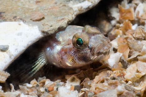 Everything you need to know about gobies in Wales | Liv & Røre | Scoop.it