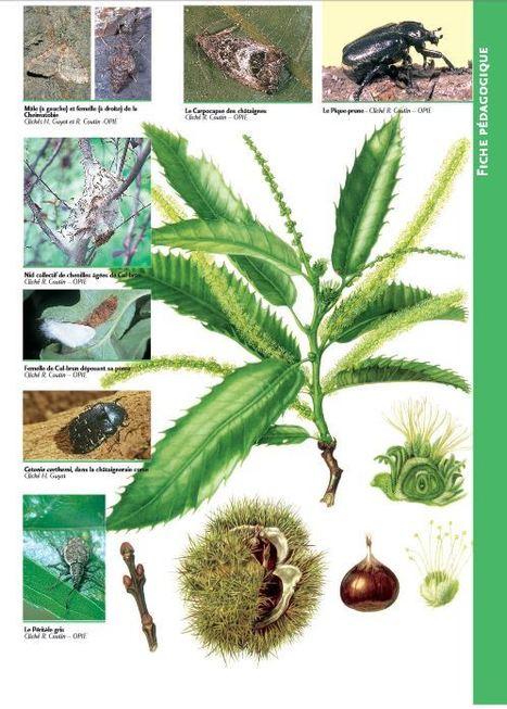 Faune entomologique du châtaignier | EntomoScience | Scoop.it
