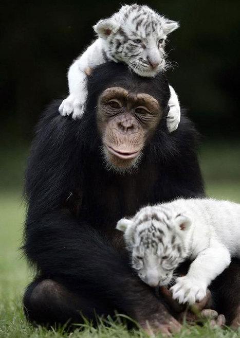 30 amitiés improbables entre animaux de différentes espèces qui prouvent que la tendresse n'a pas de frontières | Chronique d'un pays où il ne se passe rien... ou presque ! | Scoop.it