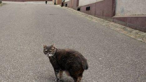 FUS nel gatto: cause, sintomi e terapia della cistite felina   Cat Club Elite News   Scoop.it