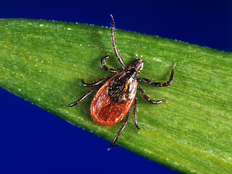 Lyme Disease Far More Common Than Previously Known : NPR | Sustain Our Earth | Scoop.it