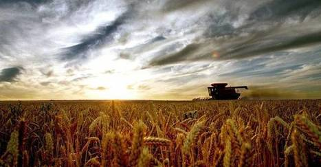 Dry, frost hit wheat - Queensland Country Life | Global Milling | Scoop.it