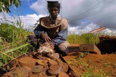 A mille lieues de leur réputation, des rats sauvent des vies en Afrique. Ils sont démineurs !   Inspiration - Emotion - Motivation - Fun   Scoop.it