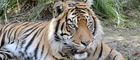Tiger Rescue – a life saved, yet lost to the wild | Fauna & Flora International | The Wild Planet | Scoop.it