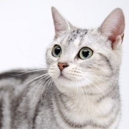 Sokoke Cat | Cat Breeds Information | Scoop.it