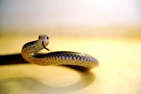 What to do, and what not to do, if bitten by a snake | First Aid Training | Scoop.it