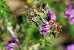 Trois nouvelles espèces d'abeilles découvertes en Afrique du Sud | Abeilles, intoxications et informations | Scoop.it