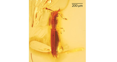 Beetle saved in amber had helicopter wings | Milhares de milhões de anos... a mesma Terra ! | Scoop.it