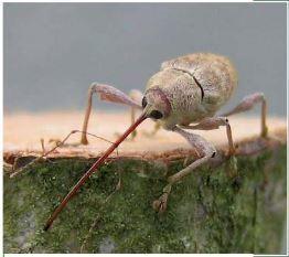 Ils forent, ils forent... les Balanins ! | EntomoScience | Scoop.it