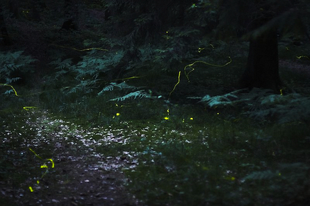 Researchers Reverse Engineer Fireflies To Make More Efficient LEDs | Biomimicry | Scoop.it