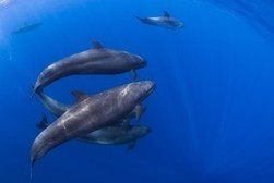 #Dolphin protection, #tuna catch in conflict for   U.S., Mexico | Rescue our Ocean's & it's species from Man's Pollution! | Scoop.it