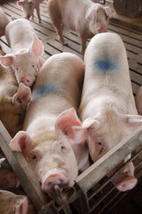 F.D.A. Restricts Antibiotics Use for Livestock | Sustain Our Earth | Scoop.it