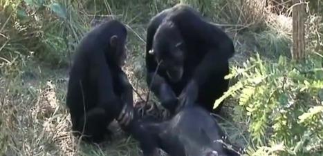 Exceptionnel : une veillée funèbre a été filmée chez des chimpanzés | Aux origines | Scoop.it