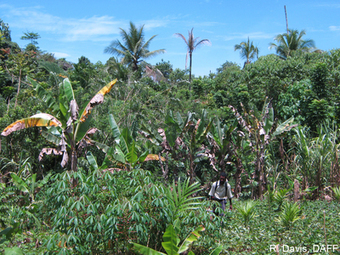 A new disease of banana? : News and analysis | Promusa - Mobilizing banana science for sustainable livelihoods | Phytoplasma | Scoop.it