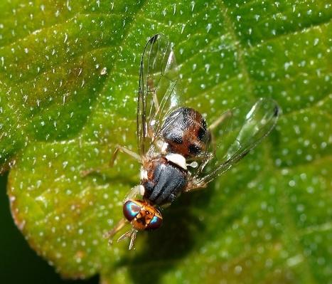 Spain Considers Release Of Genetically Modified Olive Fruit Flies | Science Education | Scoop.it