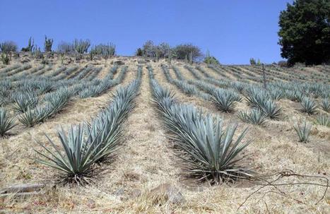 Du biocarburant à la place de la tequila   Hecho en México   Scoop.it