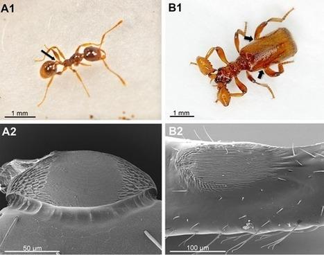 Ce coléoptère imite le son de la reine des fourmis pour être traité en tant que telle - GuruMeditation | EntomoNews | Scoop.it