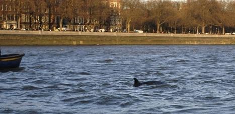 Phoques et marsouins barbotent désormais dans la Tamise   Biodiversité   Scoop.it