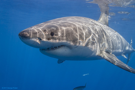 5 Reasons Why Great White Sharks are the Blackberry of the Seas | Deep Sea News | animals and prosocial capacities | Scoop.it