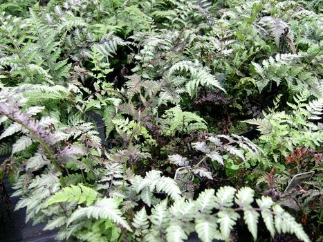 Fantastic ferns | Gardening Life | Scoop.it