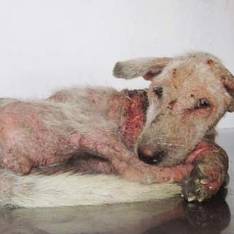 L'incroyable transformation de ce chien ravagé par la maladie (+ photos) | Bali, Java,  (Indonésie),  Malaisie | Scoop.it