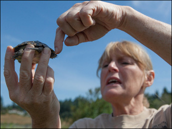 Photos: Endangered turtles released into Washington's wild - KVAL   Turtle Conservation News for KTCS   Scoop.it