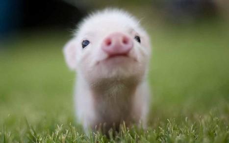 Pourquoi a-t-on cessé de manger du porc au Moyen-Orient ? | Aux origines | Scoop.it
