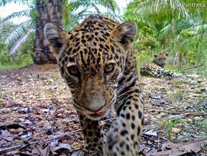 Elusive wild jaguars, cubs photographed in Colombia - msnbc.com | Cats Rule the World | Scoop.it