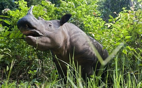 Last rhinos in Mozambique killed by poachers - Telegraph | Zoology | Scoop.it
