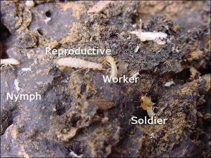 Different types of termites | Home Termite Control | Pinterest | Home Termite Control | Scoop.it