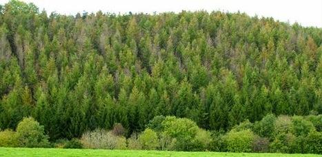 Telegraph: Ash dieback one of ten 'epidemic' tree pests and diseases (2012) | WWWBiology | Scoop.it