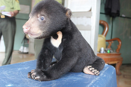 Trafficked bear cub found in backpack now safe in sanctuary | Nature Animals humankind | Scoop.it