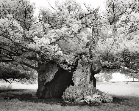 A Gorgeous Look at Some of the Oldest Trees on Earth - Slate Magazine (blog) | Trees and Woodlands | Scoop.it