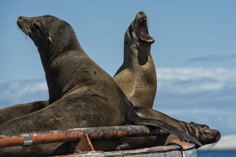 Deux mille lions de mer affamés s'échouent en Californie | Chronique d'un pays où il ne se passe rien... ou presque ! | Scoop.it